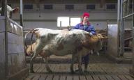 Αγελάδες και διαφθορά στο «The County» του Γκριμούρ Χακόναρσον